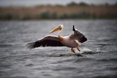 Pelican in Danube Delta. In Romania stock photos