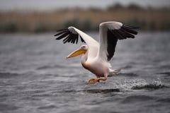 Pelican in Danube Delta. In Romania stock photo