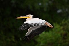 Pelican in Danube Delta. In Romania royalty free stock photo