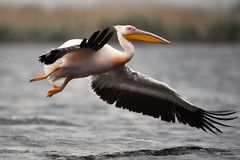 Pelican in Danube Delta. In Romania stock images