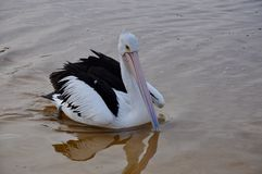 Pelican at Dawn: Moore River, Western Australia royalty free stock photo