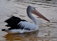 Pelican at Dawn in Profile Royalty Free Stock Images