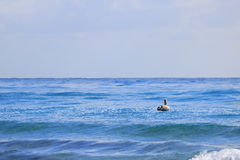 Pelican. Delray Beach florida palm beach Royalty Free Stock Image