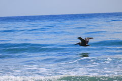 Pelican. Delray Beach florida palm beach Royalty Free Stock Photo