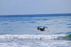 Pelican. Delray Beach florida palm beach Stock Images