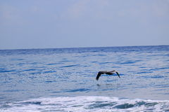 Pelican. Delray Beach florida palm beach Stock Image