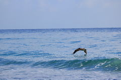 Pelican. Delray Beach florida palm beach Royalty Free Stock Photos