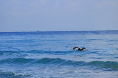 Pelican. Delray Beach florida palm beach Royalty Free Stock Images