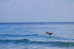 Pelican. Delray Beach florida palm beach Stock Photos