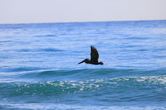 Pelican. Delray Beach florida palm beach Stock Photo