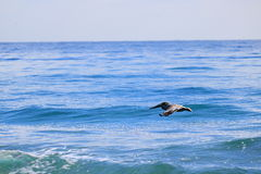 Pelican. Delray Beach florida palm beach Royalty Free Stock Photography