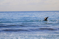 Pelican. Delray Beach florida palm beach Stock Photography