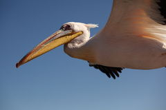 Pelican detail. Detail of a pelican flying in namibia, africa Royalty Free Stock Images