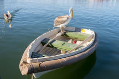 Pelican on Dingy. A young pelican sits on the back of a dingy while another swims towards the dingy Stock Images