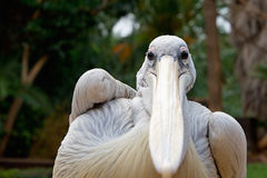 Pelican (disambiguation) portrait Stock Images