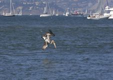 Pelican Dive Royalty Free Stock Photography