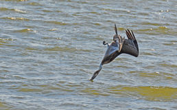 Free Pelican Dives Upside Down! Royalty Free Stock Images - 47736209