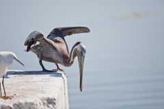 Pelican Diving Royalty Free Stock Photography