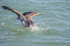 Pelican Diving During A Fish Hunt Royalty Free Stock Image