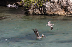Pelican diving for fish Royalty Free Stock Photos
