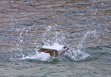 Pelican diving for fish Stock Images