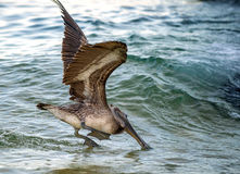 Pelican diving for fish. This pelican was photographed at Grand Cayman, diving for fish in the ocean Stock Image
