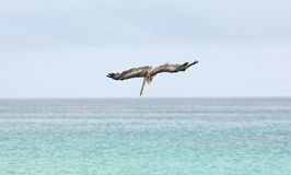 Pelican diving, Galapagos Islands Stock Image
