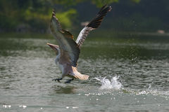 Diving pelican Royalty Free Stock Images
