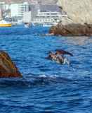 Pelican diving into the water to catch a fish near Los Arcos / Lands End in Cabo San Lucas Baja Mexico Royalty Free Stock Photography