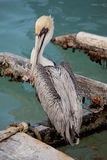 Pelican bird on dock Royalty Free Stock Image