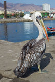Pelican on the Dockside Stock Images