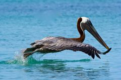 Pelican in Doctor's Cove beach in Tortola, Caribbean. Pelican in Doctor's Cove beach in Tortola, British Virgin island, Caribbean Stock Photo