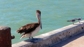 Pelican on the pier in Progreso, Mexico. Pelican doing his show on the pier in Progreso, Mexico Stock Image