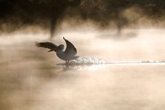 Pelican Down Royalty Free Stock Photography