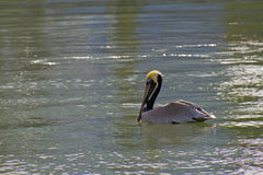 Pelican Drifting on a Quiet and Colorful Bay Stock Photo