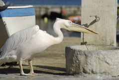 Pelican Drinking from Fountain Stock Image