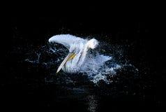 Pelican in drops of water Stock Photo