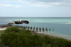 Pelican in the Dry Tortugas Royalty Free Stock Images