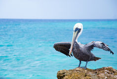 Pelican drying it's wings stock photos