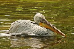 Pelican drying wings in lake Stock Photography
