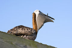 Pelican Eating Royalty Free Stock Photography