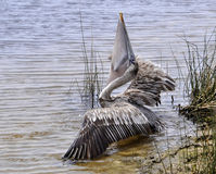 Pelican Eating stock image