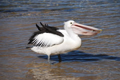Pelican eating fish. Pelican eating a fish on the coast of Australia Royalty Free Stock Images