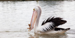 Pelican eating fish in the ocean Royalty Free Stock Photography
