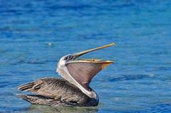 A Pelican Eating royalty free stock photos