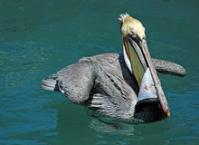 Pelican eating swordfish skin while swimming in teal blue waters of harbor of Cabo San Lucas Baja Mexico Stock Images