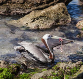 Pelican eating Stock Photos