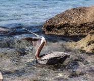 Pelican eating Stock Photography