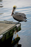 Pelican on edge of dock. A view of a large pelican with a long beak and yellow head feathers as it stands on the edge of a dock on a lake Royalty Free Stock Photo