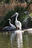 Pelican and Egret. A Pelican and egret wait for food in the wetlands Stock Photography